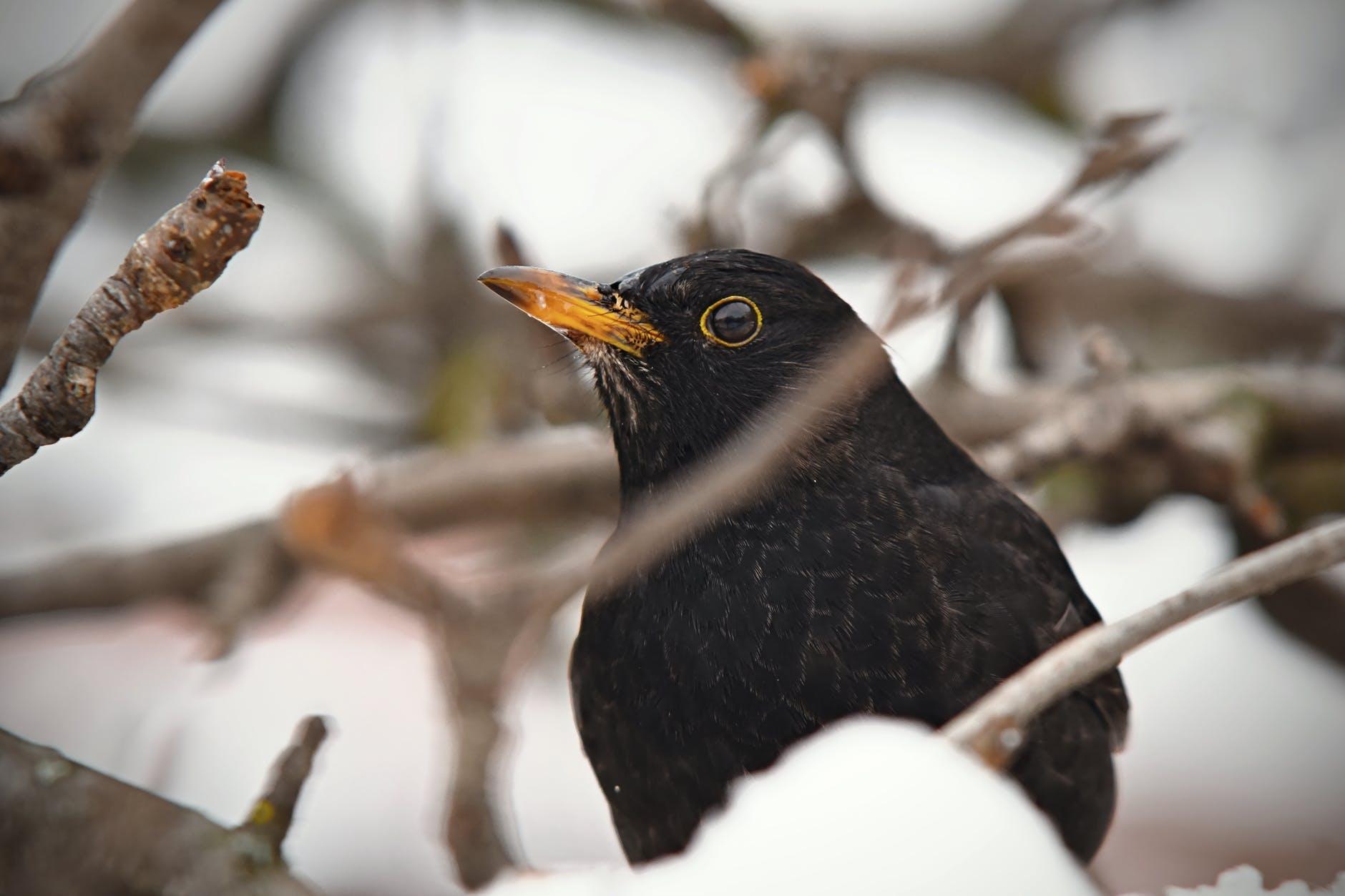 photo of perched common blackbird