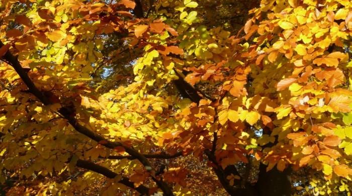 beech_fagus_sylvatica_fagus_deciduous_tree_golden_autumn_golden_october_autumn_october-1262430 - Edited